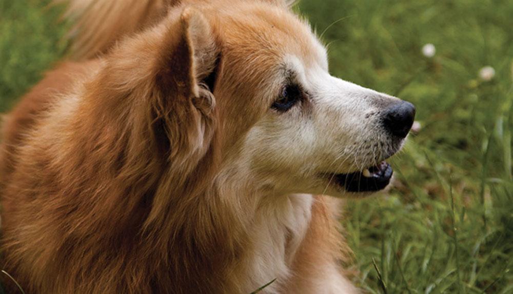 Se Il Tuo Cane Si Gratta Le Orecchie Sta Cercando Di Dirti Qualcosa